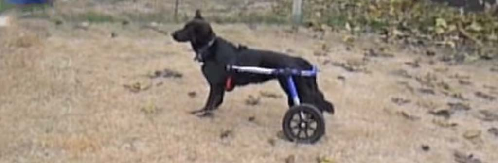 Retired Guide Dog in Walkin Wheels