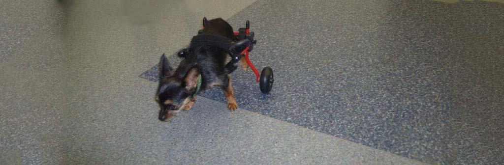 Nugget Shines in Dog Wheelchair